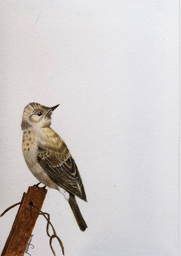 Spotted Flycatcher (after T Lambert)